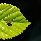Ladybug by KoosG