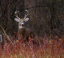 On alert - White-tailed Deer by Jim Cumming