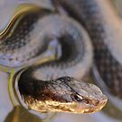 Spring Cottonmouth by Nature's realm