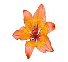 Coral Lily on White Photographic Print
