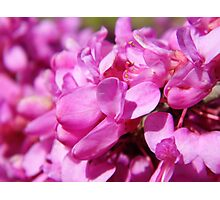 The Judas Tree(Redbud) Photographic Print