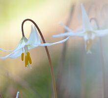 Fawn Lilies by Mikeinbc1