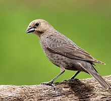 Female Brown-Headed Cowbird by Gregg Williams