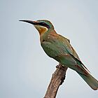 Blue cheeked bee eater by Dan MacKenzie
