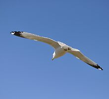 Action - seagull - full wing span by Majameath