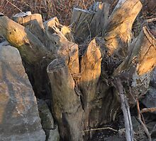 Fill the frame - stump, rock, brush by Majameath