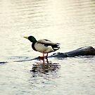 Mallard Duck by Hassan Khan