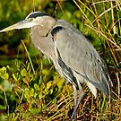 STOCK ~ Great Blue Heron #2 by Rick & Deb Larson