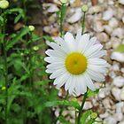 Daisy by Cynthia48