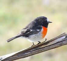 Scarlet Robin doing his audition for the HS30, ready for my close up!! by Ron Co