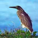 Pond Heron on Grass Varkala by SerenaB