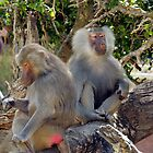 Hamadrayas Baboons by Tony Brown