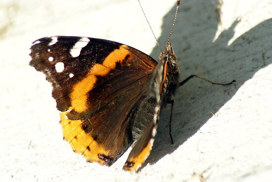 Red Admiral by sternbergimages