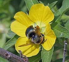 Bumblebee on a common primrose willow by jozi1