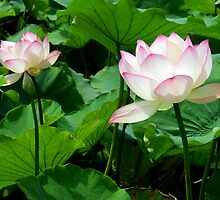 Lotuses by Paul Todd