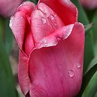 Pink Tulip In Rain by PhotographyTK