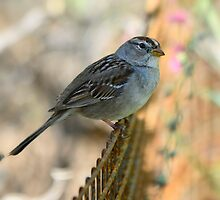 White-Crowned Sparrow by Saija  Lehtonen