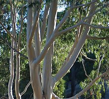 Lemon Scented Gum at Dusk by Adrian Kent