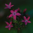 Pentas Beauty by Keith G. Hawley