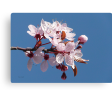 Cherry Blossom Against A Blue Sky Canvas Print