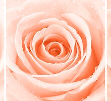 Orange Rose with Water Droplets Triptych by Natalie Kinnear