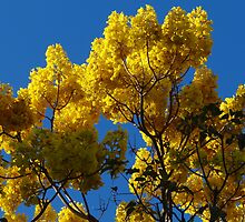 Yellow Blossoms In The Blue Sky - Flores Amarillas En El Cielo Azul by Bernhard Matejka