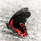 Scarlet Swallowtail by Matthias Keysermann