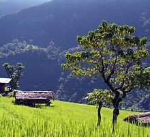 Bright Green Rice Field Nepal by SerenaB