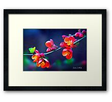 Painted Quince Blossoms Framed Print