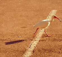 Why did the ibis cross the road? by AuntDot