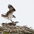 Dance of Love - Osprey Pair by Stephen Stephen