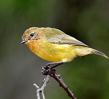 Yellow Thornbill taken Capertee Valley in NSW by Alwyn Simple