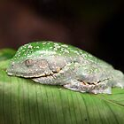 Amazon Leaf Frog by Brad Granger