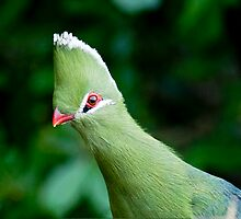 Knysna Turaco   (Lourie) Tauraco corythaix  by Warren. A. Williams