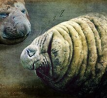 what elephant seals do best....snoozing by hartpix
