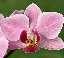 Orchid by Harry Purves