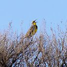 Meadowlark by Pbratt79