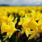 Daffodil Fields 4 by Tracy Friesen