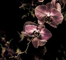 Orchid 3 by alan shapiro