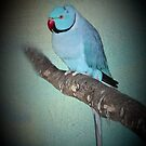 Blue Indian Ringneck Parakeet by missmoneypenny