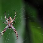 Spider on a web by Adrian Cusmano