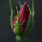 Red Rose Bud by Sean Paulson