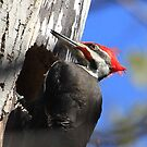 Pileated Woodpecker by Raider6569