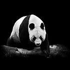 Tian Tian by Stuart Robertson Reynolds