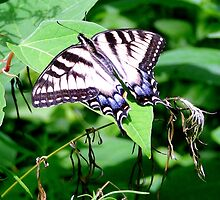 TIger Swallowtail by timoteo