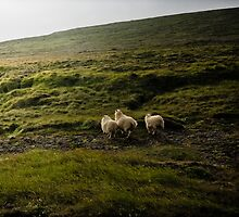 Crazy views of Iceland, Sheeps. by Cappelletti Benjamin