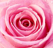 Pink Rose with Water Droplets by Natalie Kinnear