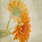Gerbera  by Henrietta Hassinen