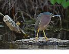 little green heron by Margaret  Shark