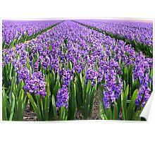 Purple Hyacinth Field Poster